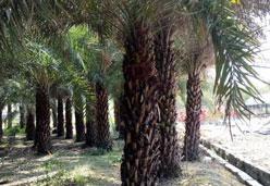 供应杆高3米中东海枣成品树