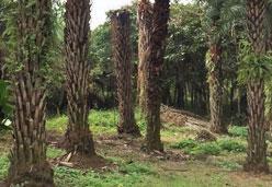 中东海枣棕榈树,行道树景观树